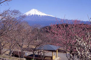 (写真)岩本山公園からの富士山と梅の景色